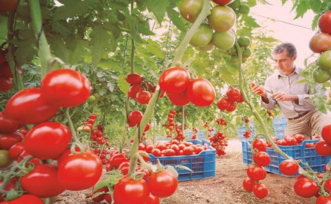 plantar tomates
