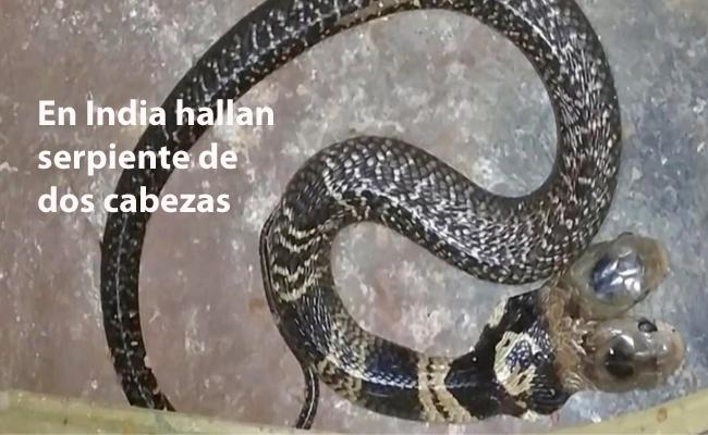 hallan serpiente de dos cabezas